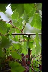 DSC_0816 (juberhas) Tags: summer plant verde green planta window ventana wine uva grape vino verano4 verano2012