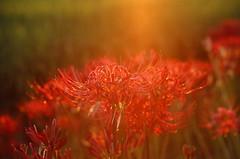 (r.ryo99) Tags: flower film canon fujifilm 花 provia ftb 彼岸花 曼珠沙華 fd50mm14 リバーサル ポジ フィルム provia400x プロビア