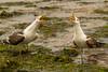 Squawking Duo (ttait88) Tags: wild color beach heron nature water birds animals gulls duo beaks squawking
