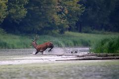 chased away (Zsolt Varanka) Tags: autumn nature water les mammal fight hungary wilde free september deer telephoto hide hart danube backwater troat bika sz szarvas szeptember holtg szarvasbgs przs z