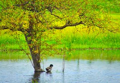Under a Tree.. (otterman51) Tags: blue tree green nature water landscape duck pond wildlife grimsby ontraio