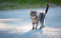 Bönhamn, July 5, 2015 (Ulf Bodin) Tags: road cat se sweden sverige katt högakusten notmycat pysen bönhamn västernorrlandslän canoneos5dmarkiii canonef70200mmf28lisiiusm