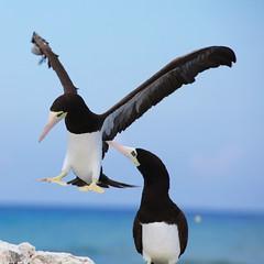 Booby birds (Simone Scott) Tags: birds cayman caymanislands caymanbrac boobybirds simonescott