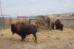 Bison at High Plains Homestead