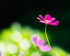 Glowing Cosmos (zoomclic) Tags: pink flower green nature canon garden outdoors colorful dof bokeh foliage dreamy cosmos xsi 200mm28l zoomclicphotography