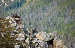 Marmot Family (KilcherPNW) Tags: mountains colorado hiking wildlife hike rockymountains rmnp marmots mountida