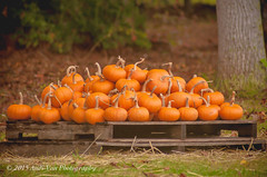 Pumpkin Pie Pumpkins (AndiVanPhotog) Tags: orange fall halloween big little pumpkins scarecrow harvest inbetween balesofhay seaoforange douglasvillega pumpkinpatch2015 shepherdofthehillsumc