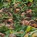 Fodder beets