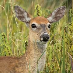 Key Deer (Frank Oller) Tags: vacation us nc buxton unitedstates northcarolina outerbanks keydeer abigfave nikond7100 frankoller