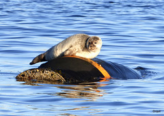 A Common Seal On A Buoy - Orkney (orquil) Tags: uk greatbritain november autumn sea sunshine mammal islands scotland seaside orkney marine adult wildlife sunny calm seal ripples resting aquatic bouy common selkie sunbathing buoy harborseal harbourseal holm basking phocavitulina bayofayre
