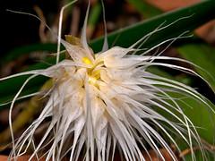 bulbophyllum medusae (Eerika Schulz) Tags: orchid orchids orchidee orchideen bulbophyllum medusae