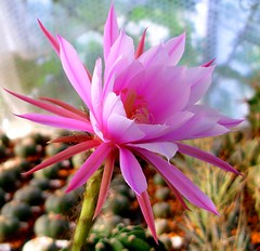 Echinopsis flower (Skolnik Collection) Tags: cactus flower collection echinopsis skolnik