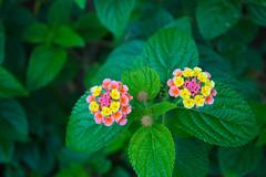 Flores de El Tigre (Alex Ferrero) Tags: flowers flores verde flora rosa el amarillo isla tigre