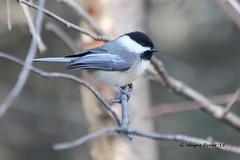 Black-capped Chickadee (Poecile atricapillus) (Gerald (Wayne) Prout) Tags: blackcappedchickadee poecileatricapillus passeriformes paridae songbirds animalia aves chordata birds perchingbirds herseylakeconservationarea cityoftimmins ontario canada prout geraldwayneprout canon canoneos60d timmins northernontario conservation chickadee herseylake black blackcapped