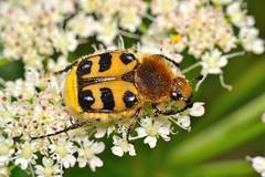 Trichius zonatus (Germar, 1829) (Jess Tizn Taracido) Tags: polyphaga trichiuszonatus scarabaeoidea cetoniidae scarabaeiformia trichiini trichiinae