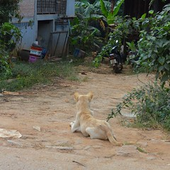 What are you watching? (kawabek) Tags: dog thailand motorcycle chiangmai 犬 イヌ タイ バイク เชียงใหม่ ประเทศไทย หมา チェンマイ รถจักรยานยนต์