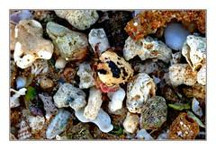 Mimicry (Brje Trttne) Tags: wildlife crab sri lanka mimicry hikkauwa