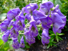 Aconitum variegatum (yewchan) Tags: flowers flower nature colors beautiful beauty closeup garden flora colours gardening vibrant blossoms blooms lovely monkshood aconitum aconitumvariegatum
