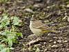 Palm Warbler 20151220 (Kenneth Cole Schneider) Tags: florida miramar backyardbirds