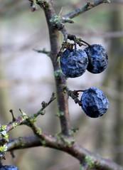 04-IMG_8026 (hemingwayfoto) Tags: natur pflanze beere frucht strauch busch ernte obst prunusspinosa zweig schlehe schlehdorn steinobst facebookalbum gehölz rosengewächs trockenbeere