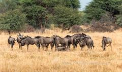 Wildebeest Herd in Grassland of Botswana (chasingthelight10) Tags: africa travel photography landscapes wildlife events places things botswana grassland wildebeest okavangodelta gomotisafaricamp