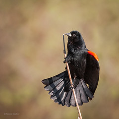 Red-winged Blackbird, Male (SimontheTanner) Tags: blackbird redwingedblackbird bird birding birdwatching wild wildlife nature natural red summer black pond songbird washington washingtonstate canonef100400456isl canon70d canon canon40d