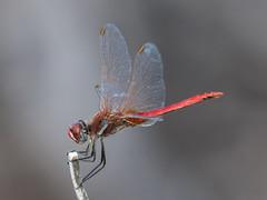 Greek Dragonfly - id welcomed (Maria-H) Tags: kefallonia greece gr dragonfly fiskardo panasonic gh4 dmcgh4 100400