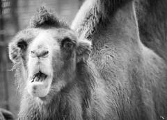 Camel I (Photato Jonez) Tags: camel black white blackandwhite binder park zoo funny humor lansing michigan alex day alexander