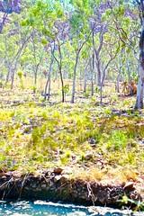 Kimberley 1996 Fern Creek oasis (SubiYurek) Tags: kingleopoldranges oasis westkimberley gibbriverroad ferncreek palms eucalyptus rockyoutcrops