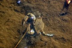 Fiddler Crab (Black Hound) Tags: crab fiddlercrab bombayhooknwr sony a500