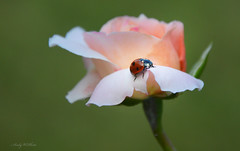 between summer and autumn (AndyW Harz) Tags: kfer insekt rose blume natur