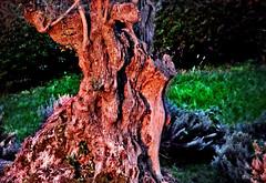 Olivo oreado (Franco DAlbao) Tags: francodalbao dalbao fuji olivo olivetree rbol tree sol sun tronco trunk rojizo redish jardn garden corteza bark
