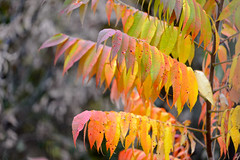 BigSit-48475.jpg (Mully410 * Images) Tags: autumn sumac fallcolors coldwaterspring birding nationalpark mississippinationalriverrecreationarea bigsit fall birdwatching yellow orange red