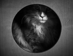 Mr. Pip (Jason _Ogden) Tags: boxdrum concealed cajn nikon mrpip cat nose drum circle whiskers monochrome blackandwhite d90 bw vr18200mm pip