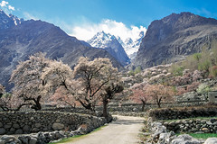 Mountains and apricot flowers, Gulmit, Pakistan (travelingmipo) Tags: travel photo film pakistan     pakistani  pamir karakoram   hunza hunzavalley  karakoramhighway  kkh gulmit  gojal  mountains  spring    flowers landscape apricot   shangrila