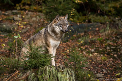 Wolf01-7735 (Esther van Rooijen) Tags: bayerischerwald animals wildlife