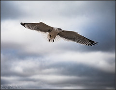 **FREE BIRD** (**THAT KID RICH**) Tags: richzoeller rich zoeller thatkidrich tkr seagull bird animal feathers sky clouds beak wings explore canon 5dm2 tail
