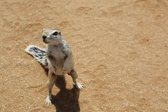 Deadly Slow (carlos.aantunes) Tags: squirrel namibia deadly slow animal head sand africa little sweet