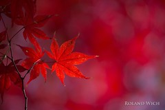 Autumn in Seoul (Rolandito.) Tags: south korea sdkorea herbst automne fall autumn maple red leaf leaves park palace