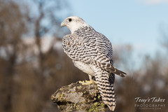 Gyrfalcon shows off its Arctic influenced colors