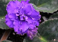 10-IMG_4724 (hemingwayfoto) Tags: berggartenhannover blhen blte blume flora floristik natur topfpflanze usambara usambaraveilchenlevitrazhi veilchen vorauswahlfrkalender zierpflanze zuchtform