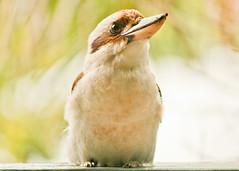 Laughing kookaburra (11 of 11) (Daniela Parra F.) Tags: kookaburra aves bird birds australia queensland birdsofaustralia wildlife wildbirds naturaleza nature silvestres avessilvestres