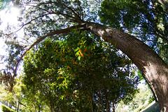 Fragrant Olive covered by a Pine (nak.viognier) Tags: fragrantolive pine ryokuchipark osaka 緑地公園 olympusepl3 lumixgfisheye8mmf35