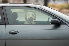 Waiting patiently (Lynne Dohner) Tags: goldendoodle lakemichigan puppy dogs poodle goldens mansbestfriend overcast overcastday