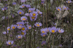 "Aster • <a style=""font-size:0.8em;"" href=""http://www.flickr.com/photos/63501323@N07/30491398781/"" target=""_blank"">View on Flickr</a>"