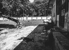The Middle Ground (arkamitralahiri) Tags: india indian noir monochrome monotone blackandwhite streetphotography streetscene outdoor dogs cows film raiganj old oldhouse grunge