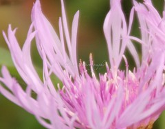 IMG_1566 (Sally Knox Sakshaug) Tags: nynov2016 fall autumn outside outdoors conesus area nature closeup close up perspective angle interesting different vary varied variety unique unusual line lines flower floral purple pink lavender white spindly center with petals daisylike weed field green