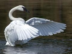 IMG_2080 Trumpeter Swan (cmsheehyjr) Tags: cmsheehy colemansheehy nature wildlife bird swan hayden yellowstone yellowstonenationalpark wyoming cygnusbuccinator trumpeterswan