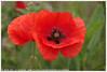 * (Dit is Suzanne) Tags: img9311 11062016 nederland netherlands нидерланды groningen гронинген reitdiep ©ditissuzanne canoneos40d wandeling walk прогулка лето summer zomer bloem flower цветок papaver poppy мак berm views50