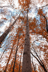 Reaching high (kwtracyghostship) Tags: ohiopyle kwtracyghostship pennsylvania alleghenycounty commonwealthpa forest unitedstates us backlit towering autumn fall orange woods treebark serene lines statepark autumnleaves